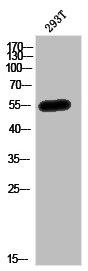 Western Blotting(WB) 1- MEF2C Antibody