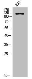 Western Blotting(WB) 1- Phospho-JAK2 (Y570) Antibody