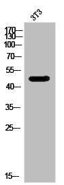 Western Blotting(WB) 1- NPY1R Antibody