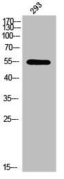 Western Blotting(WB) 1- Phospho-LEF1 (S42) Antibody