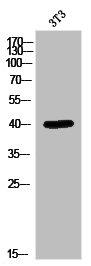 Western Blotting(WB) 1- MAPK1 Antibody