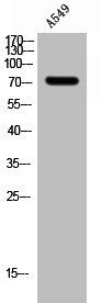 Western Blotting(WB) 1- Phospho-RAF1 (S301) Antibody