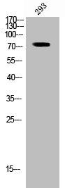 Western Blotting(WB) 1- Phospho-RAF1 (S296) Antibody