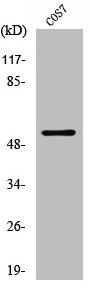 Western Blotting(WB) 1- TP53 Antibody