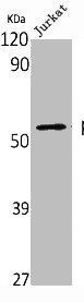 Western Blotting(WB) 2- TP53 Antibody