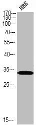 Western Blotting(WB) 1- Phospho-CASP3 (S150) Antibody