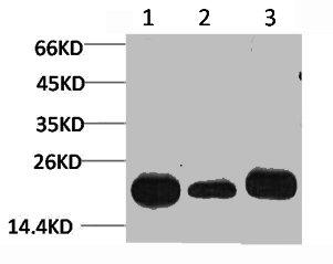 Western Blotting(WB) 1- PRDX1 Antibody