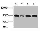 Western Blotting(WB) 1- HSP90AA1 Antibody