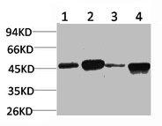 Western Blotting(WB) 1- GSK3B Antibody