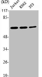 Western Blotting(WB) 2- PRKAA1 Antibody