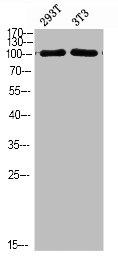 Western Blotting(WB) 1- PIK3C3 Antibody