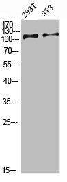Western Blotting(WB) 1- ULK2 Antibody
