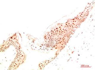 Immunohistochemistry(IHC) 1- ATG14 Antibody