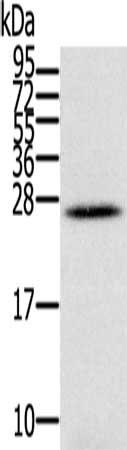 Western Blotting(WB) - IFNL3 Antibody