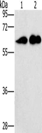 Western Blotting(WB) - CD27 Antibody