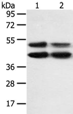 Western Blotting(WB) - MAPK8 Antibody
