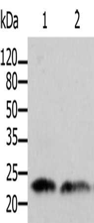 Western Blotting(WB) - ARF1 Antibody