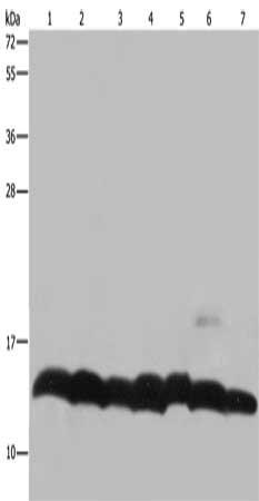 Western Blotting(WB) - HIST1H4A Antibody