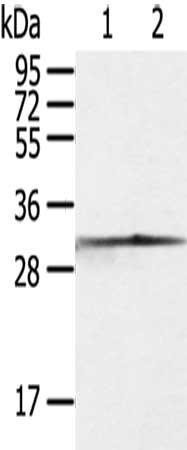 Western Blotting(WB) - CASP3 Antibody