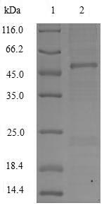 SDS-PAGE- Recombinant protein Macaca APOC3