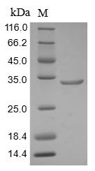 SDS-PAGE- Recombinant protein Human ARID1A