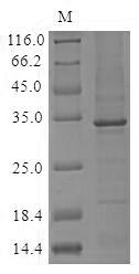 SDS-PAGE- Recombinant protein Human C1QA