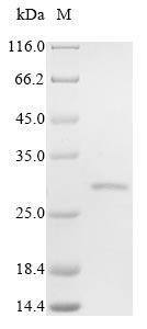 SDS-PAGE- Recombinant protein Human FOLR2