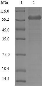 SDS-PAGE- Recombinant protein Human LCP1