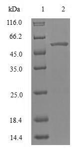 SDS-PAGE- Recombinant protein Human PRKN