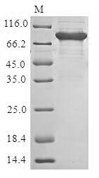 SDS-PAGE- Recombinant protein Human PRF1