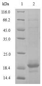 SDS-PAGE- Recombinant protein Rat Tgfbr2
