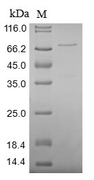 SDS-PAGE- Recombinant protein Human XRCC5