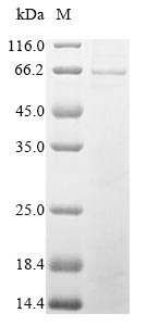 SDS-PAGE- Recombinant protein Aspergillus gox