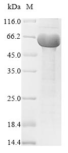 SDS-PAGE- Recombinant protein Mycobacterium mpt64