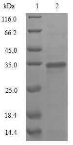 SDS-PAGE - Recombinant Rotavirus A Outer capsid glycoprotein VP7
