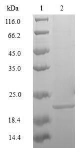 SDS-PAGE- Recombinant protein Mouse Mafk
