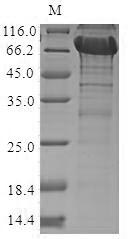 SDS-PAGE- Recombinant protein Human NRROS