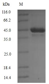 SDS-PAGE - Recombinant Mouse Pdk1