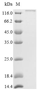 SDS-PAGE- Recombinant protein Mouse Itgax