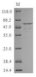 SDS-PAGE- Recombinant protein Human CRISPLD2