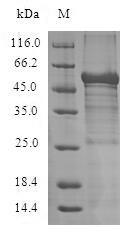 SDS-PAGE- Recombinant protein Human ADIPOR1