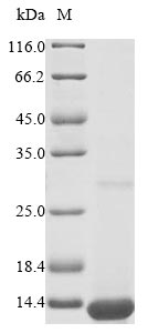 SDS-PAGE- Recombinant protein Mouse Apoc1