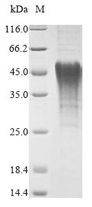 SDS-PAGE- Recombinant protein Mouse Bnip3