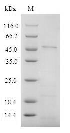 SDS-PAGE- Recombinant protein Human CD4