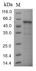 SDS-PAGE - Recombinant Human COL6A3
