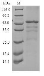 SDS-PAGE- Recombinant protein Human CXCR3