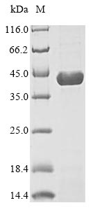 SDS-PAGE- Recombinant protein Mouse Dhodh