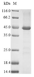 SDS-PAGE- Recombinant protein Human FAS