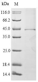 SDS-PAGE- Recombinant protein Mouse Fcer1a