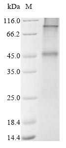 SDS-PAGE- Recombinant protein Human GLP1R
